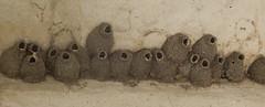 Cliff Swallows' village (Petrochelidon pyrrhonota)