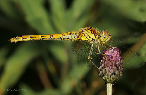 Common Darter Female Dragon Fly by Andy Pritchard - Barrowford