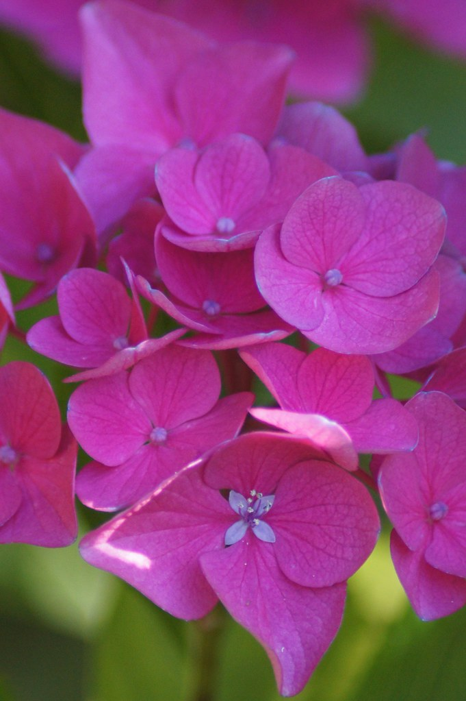 Photo of hydrangea by Kristen Koster on flickr.com