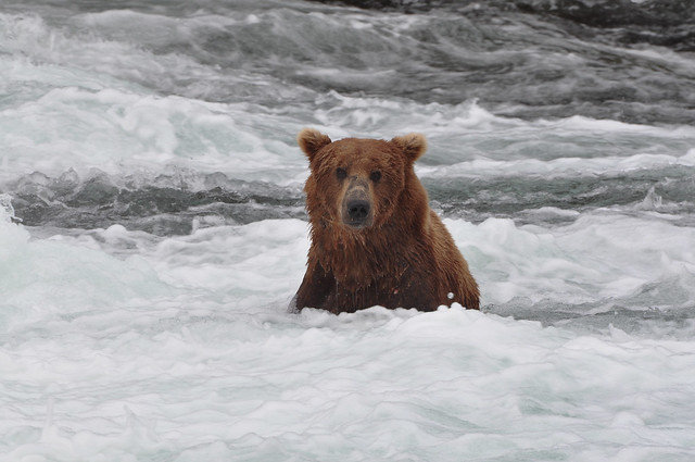 Who is watching me ... [Katmai National Park]
