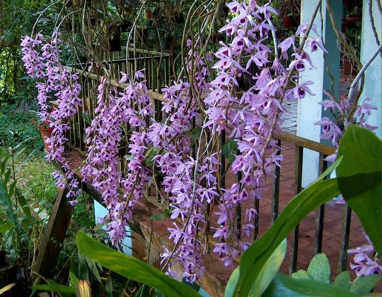 Орхидея Дендробиум  уход размножение и пересадка в