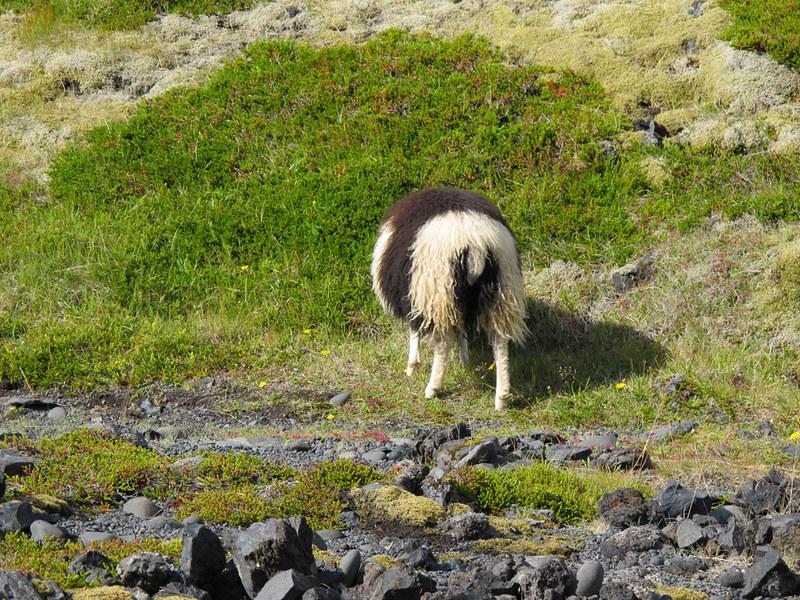 sheepbut