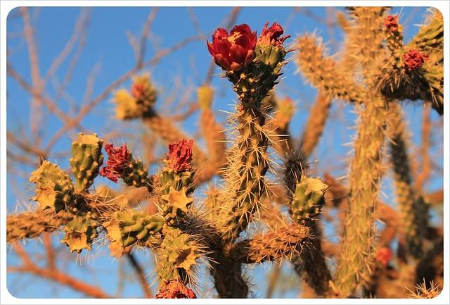tucson cactus flowers