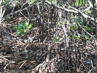 Just thing 'bout Mangrove  (44)