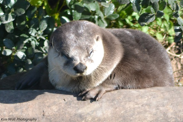 a sunlit otter lying on a rock, with greenery behind. The otter's eyes are almost closed.