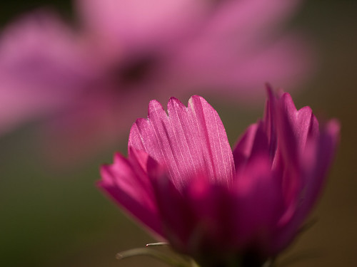 morning pink light plant flower colour nature japan sunrise sapporo asia hokkaido purple time atmosphere places asteraceae translucence angiosperms angiosperm