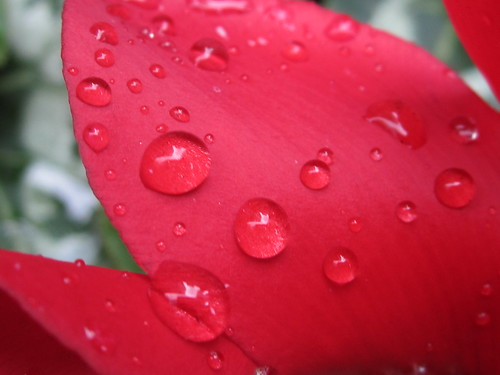 Red Flower Petal with Raindrops