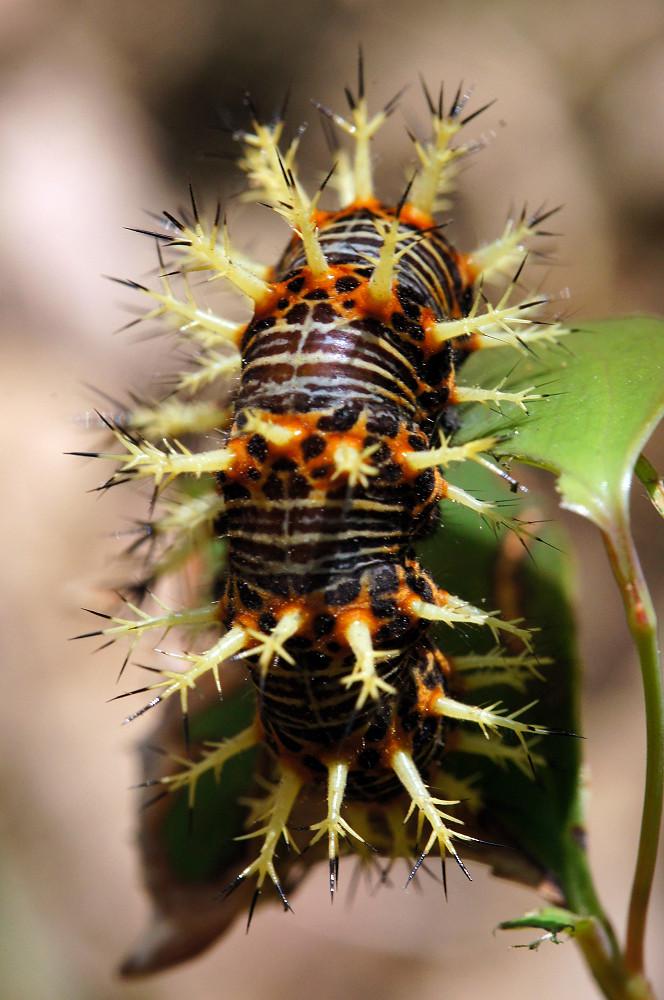 琉璃蛺蝶終齡幼蟲