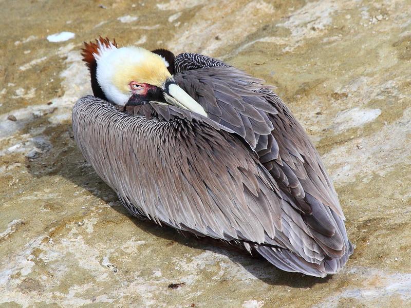 IMG_9832 California Brown Pelican Eye Open