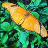 The Dryas iulia #detail #orange #butterfly
