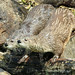 Pair of otters by Blossom's Mom.(Sheila Hess)
