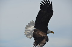 Bald Eagle over Sea