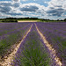 Lavenders by Christophe26130