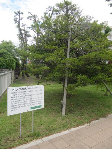 函館競馬場のオンコの木