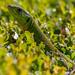 Lacerta trilineata (Balkan Green Lizard)