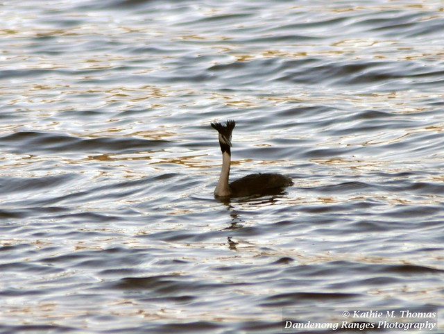 79-366 Crested Grebe