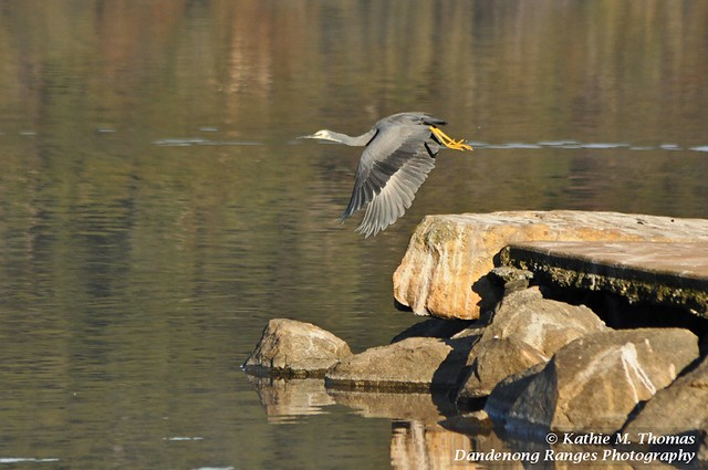 White-faced heron takes off