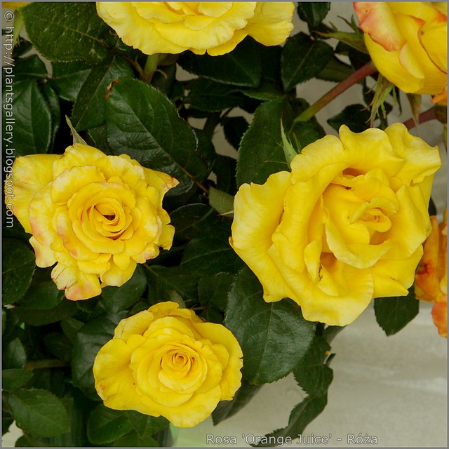 Rosa 'Orange Juice' - Róża 'Orange Juice'