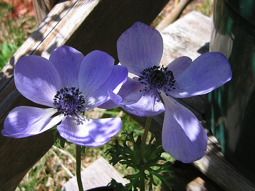 Blue-Violet Single Poppy Anemone. by Leenechan