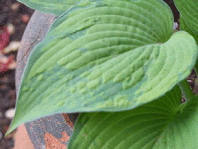 Hosta-Inniswood_leaf_500