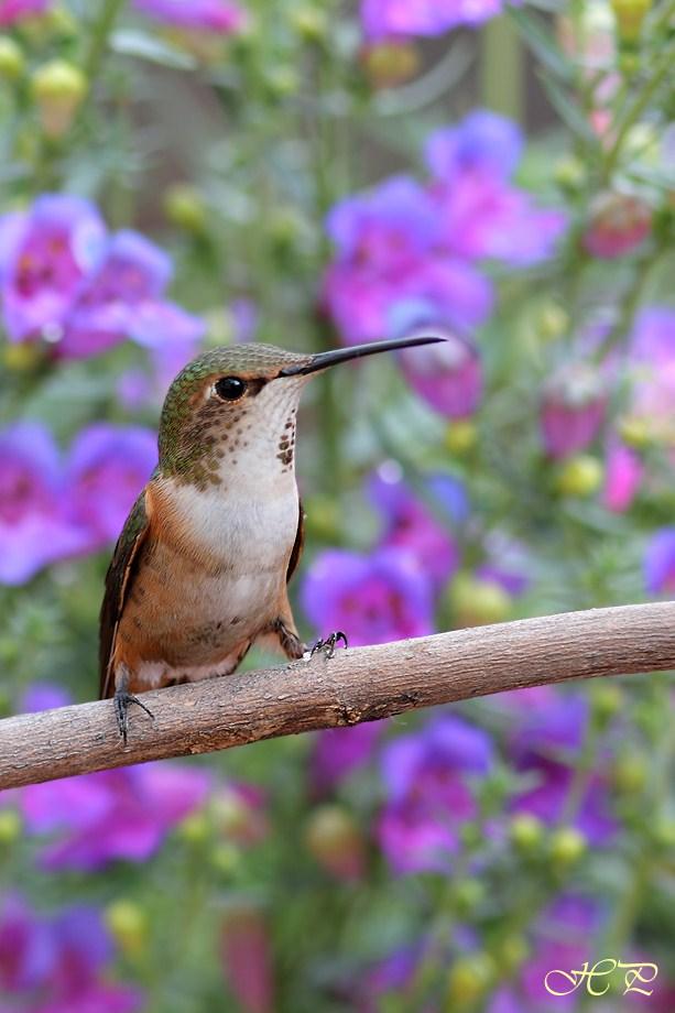 Allen's Hummingbird 042612-3