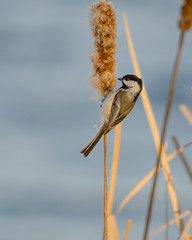 Chickadee on Cattail-0958.jpg by Mully410 * Images