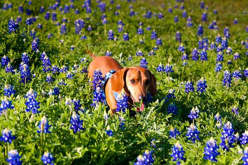 dachshund texasbluebonnets