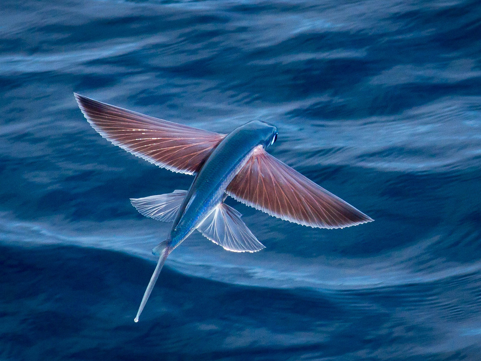 flying fish pics