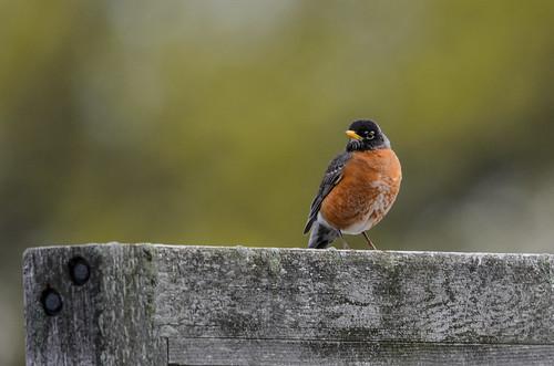 Robin on Sign-4959.jpg