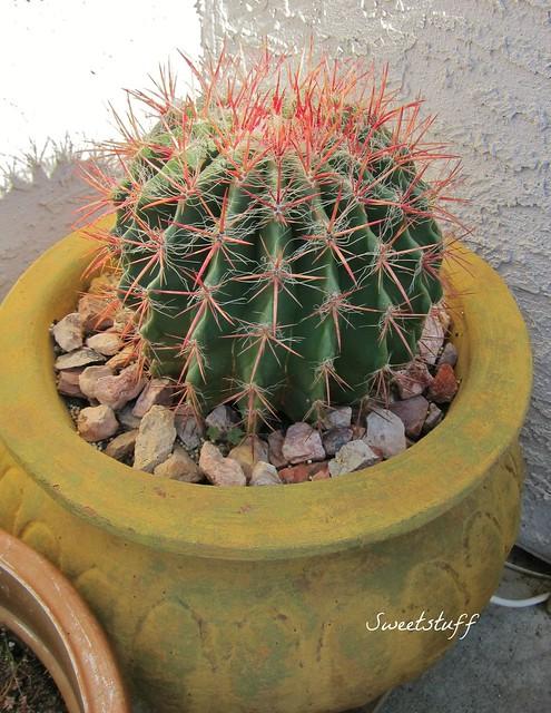 Ferocactus gracilis