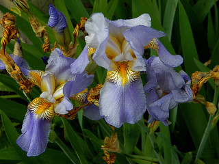 The Life Cycle of a Japanese Iris
