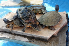 animal, turtle, box turtle, reptile, marine biology, fauna, common snapping turtle, emydidae, tortoise,