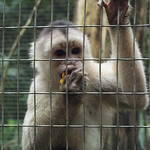 White-fronted capuchin (Cebus albifrons)