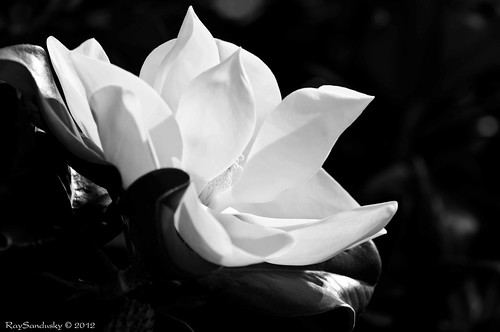 A Stage Toward Renewal - Magnolia #25