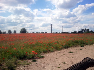 Poppy field in Bury St Edmunds