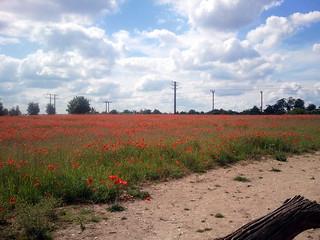 Poppy field in Bury St Edmunds