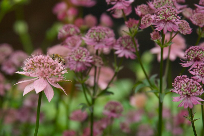 bee on astrantia  1820