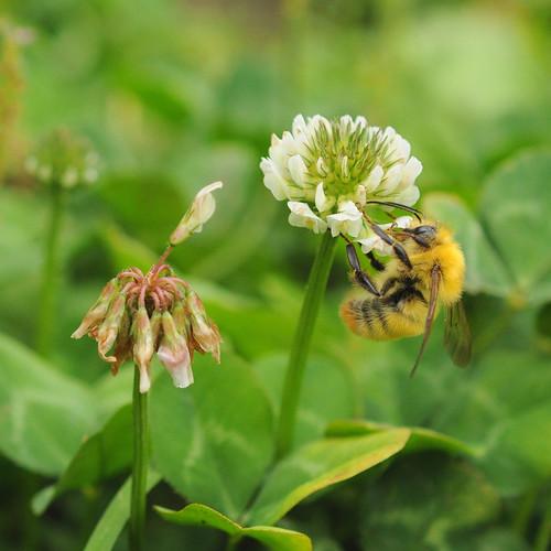 ぶんぶん働きバチ