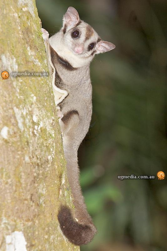 Sugar glider (Petaurus brevipes)