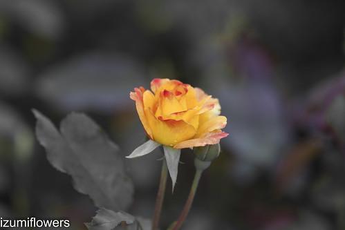 rose 183-2-2