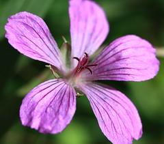 Geranium / 風露草属(ふうろそうぞく)のどれか