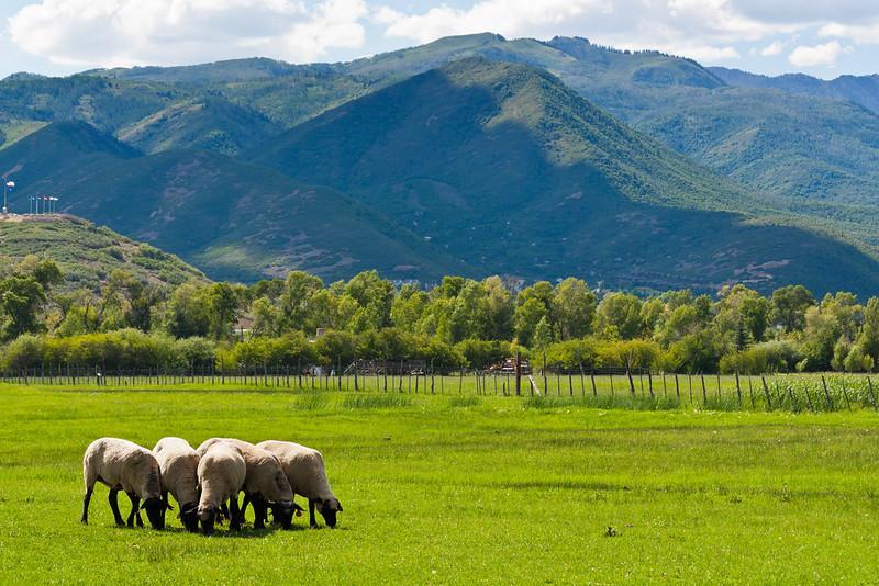 Summer Sheep Farm