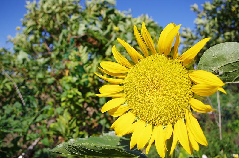 傻傻分不清楚~~向日葵----太陽花