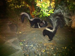 skunk, animal, fauna, wildlife,