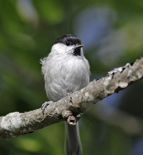 Marsh Tit (Poecile palustris palustris) - Karmansbo, Sweden by JFPescatore