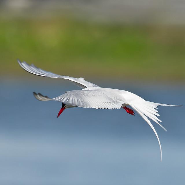 Kría-Arctic terns (Sterna paradisaea)