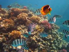 Yellow and Black Butterfly Fish and Sergent Major Fish in Egypt 2012 2