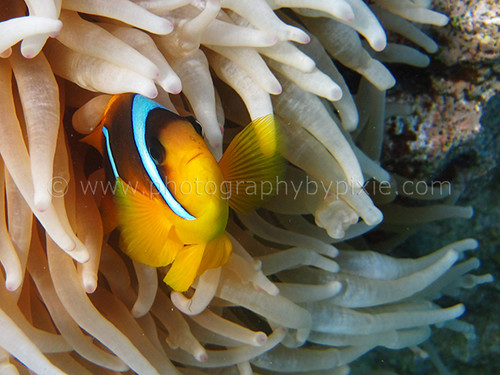 Nemo Clown Fish in Egypt 2012 2 by Photography By Pixie