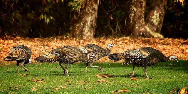 Wild Turkeys #2