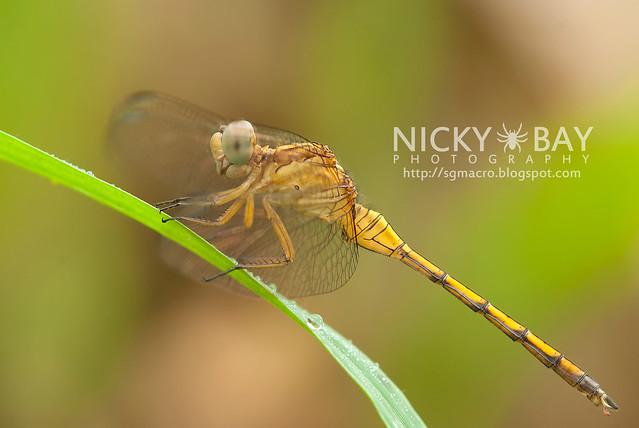 Dragonfly (Anisoptera) - DSC_6991